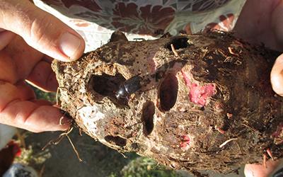 Taro Beetle (Papuana uninodis)