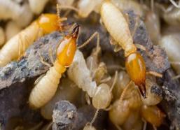 asian-termitesadj